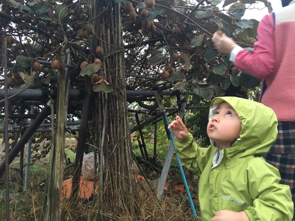 kiwi-picking